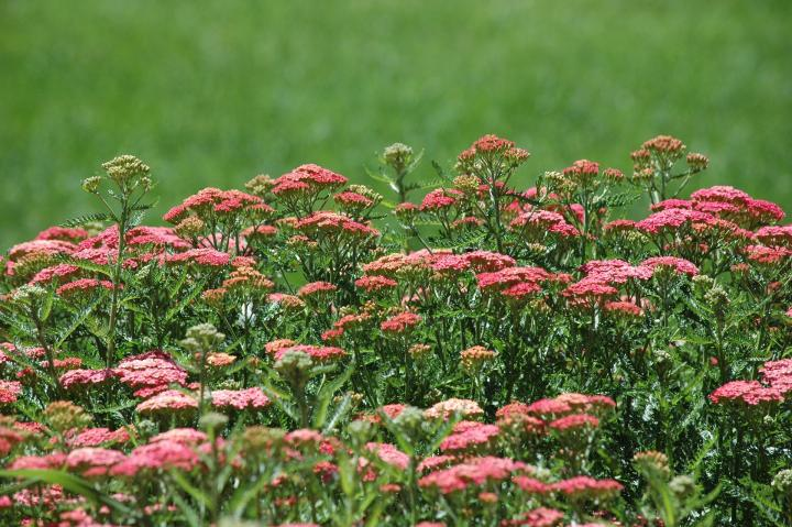 Yarrow flowers.