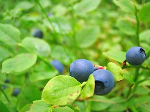 August blueberries