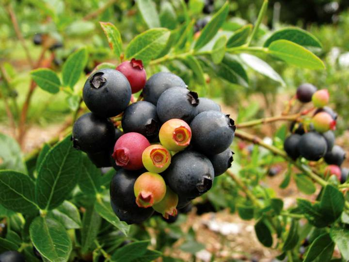 blueberry-glaze-fall-creek-farm_full_width.jpg