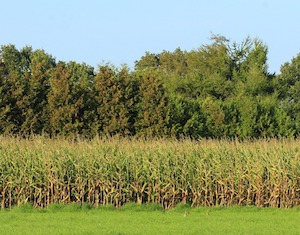 corn at end of summer