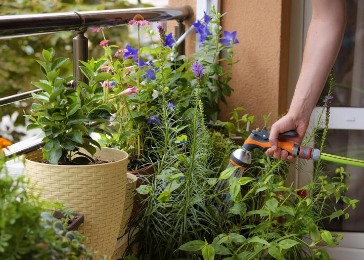Photo: Growing flowers urban balcony. Man floating flowers with a hose. Pots of flowers Echinacea, Platycodon, Campanula, Mandevilla.