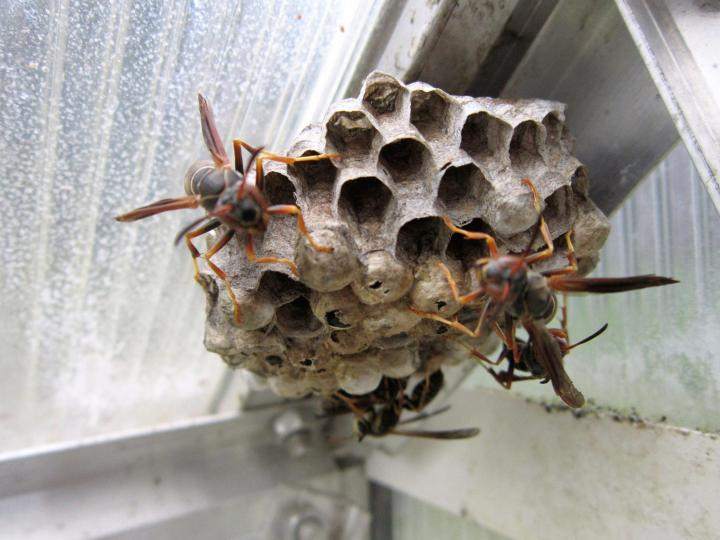paper-wasps-control-pests