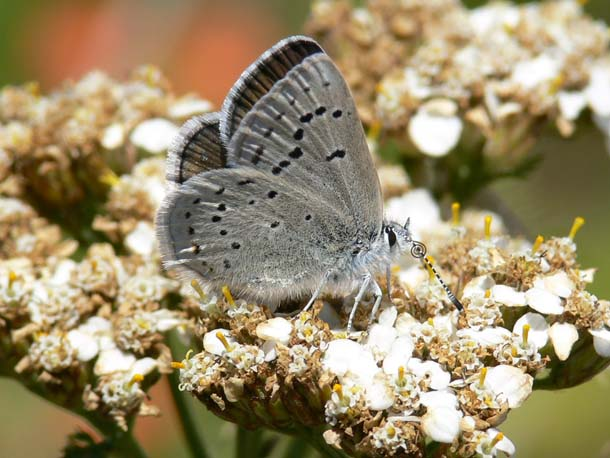 mb-female-yarrow-patrick_kobernus.jpg