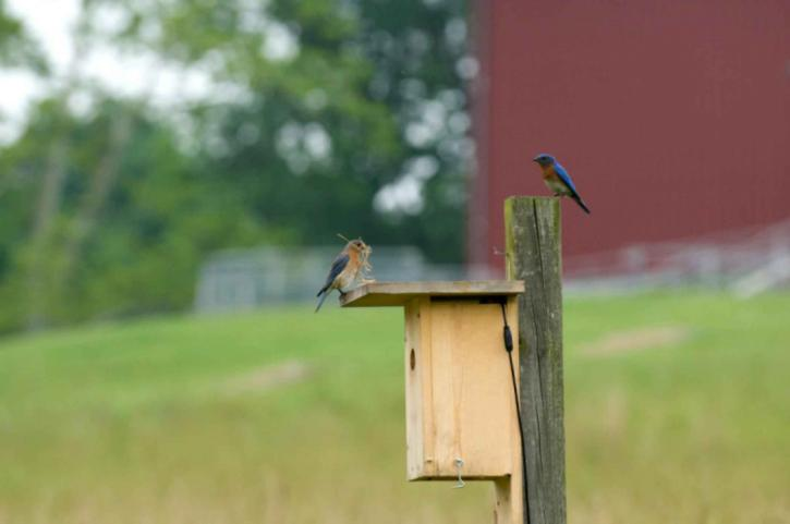 pair-of-eastern-bluebirds-preparing-a-nest-in-a-bird-house-725x481.jpeg