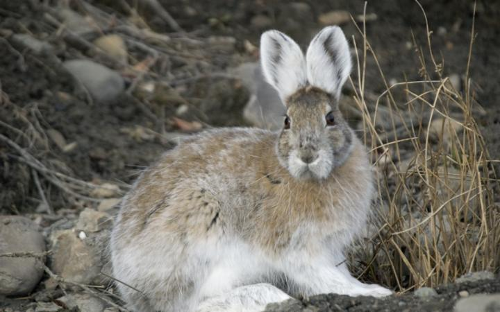 snowshoe_hare_transitional_coloring_full_width.jpg