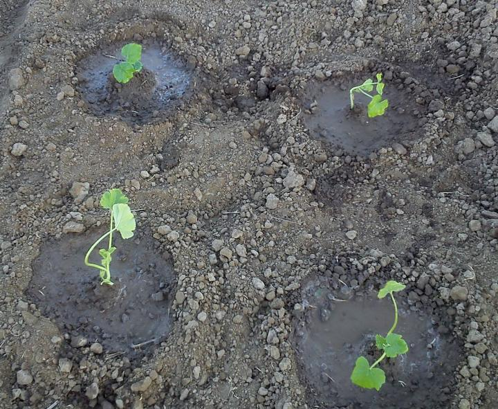 Squash seedling, by Belmargo2014 (Own Work) via Wikimedia Commons