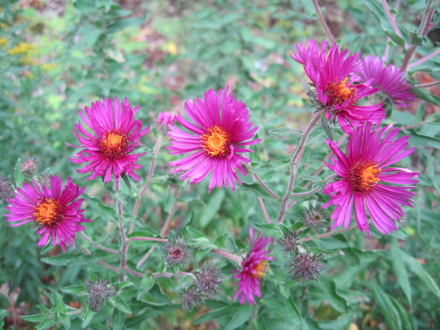 asters stars of the fall garden  old farmer's almanac, Beautiful flower