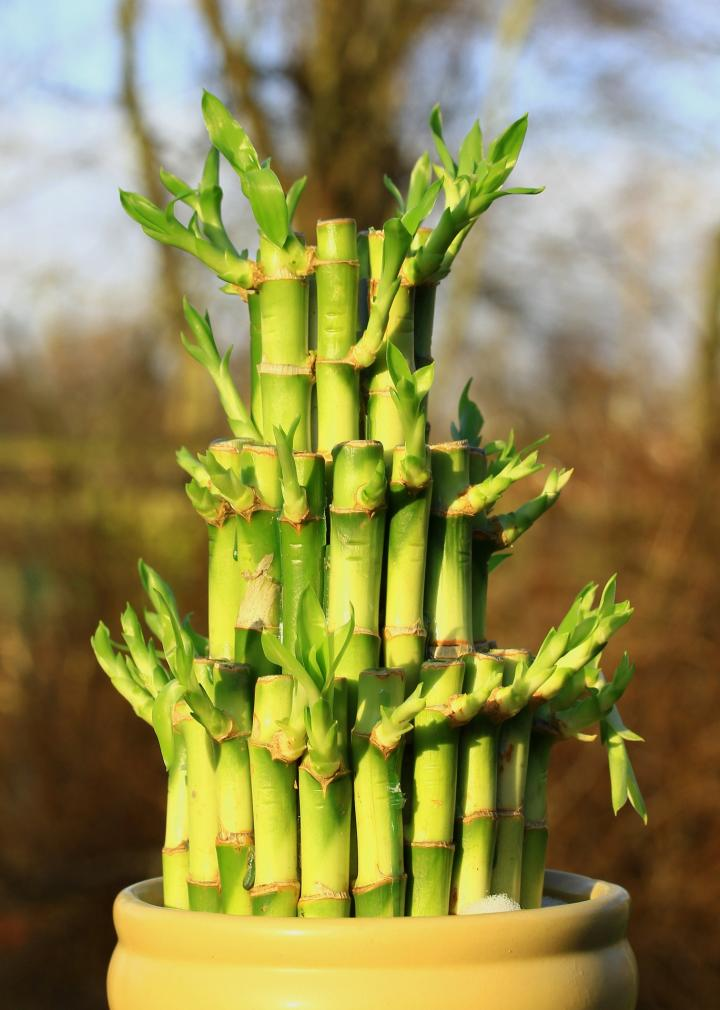 How To Grow Lucky Bamboo