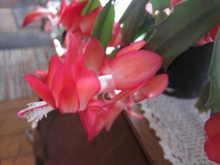 Christmas Cactus Thanksgiving Cactus And Easter Cactus