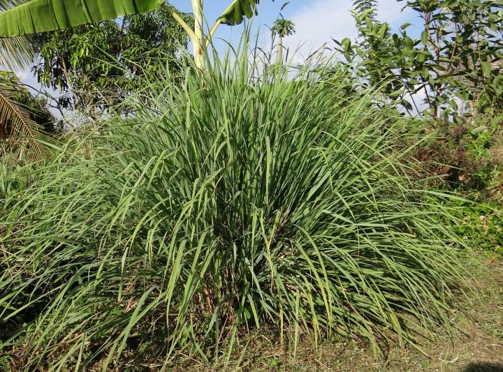 Plants That Repel Mosquitoes And Other Insects The Old Farmer S