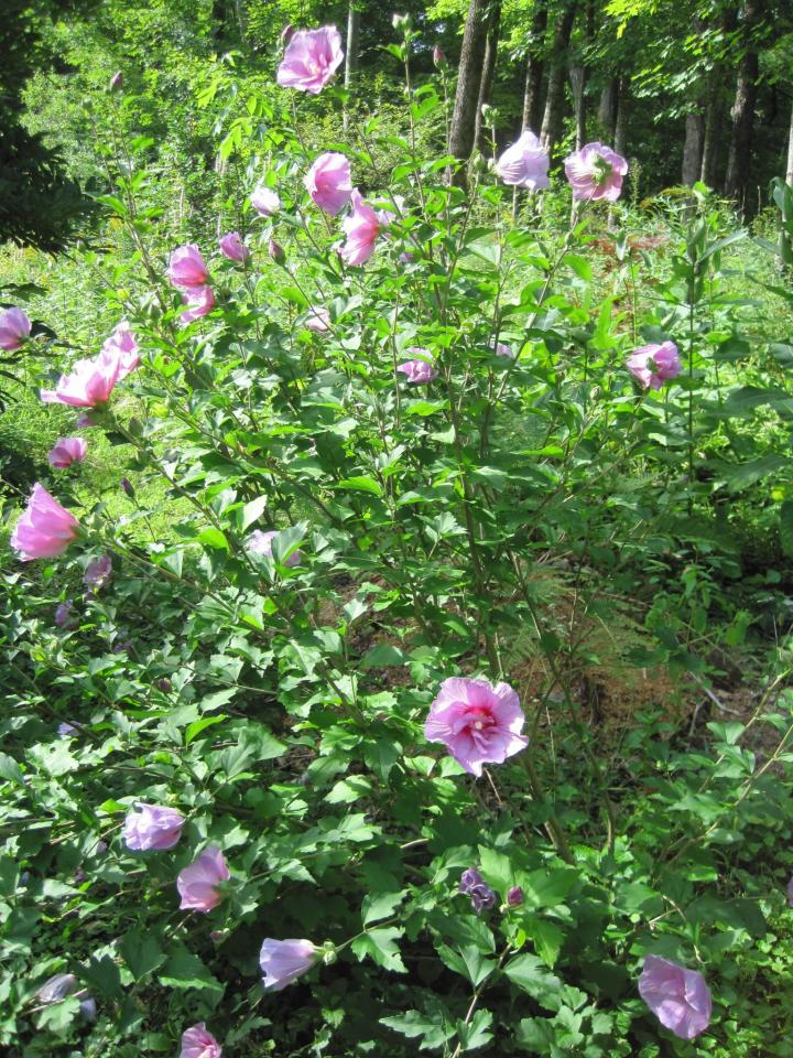 Hardy Hibiscus For The Fall Old Farmers Almanac