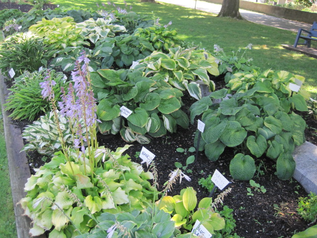 Growing Hosta Plants And Types Of Hostas Old Farmers Almanac