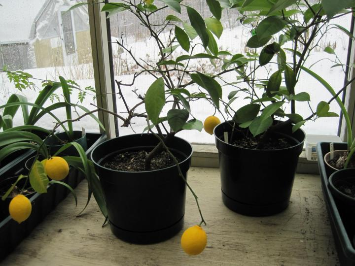 Growing Dwarf Citrus Trees Old Farmer S Almanac