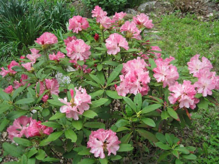 Rhododendron Care And Growing Tips Old Farmer S Almanac