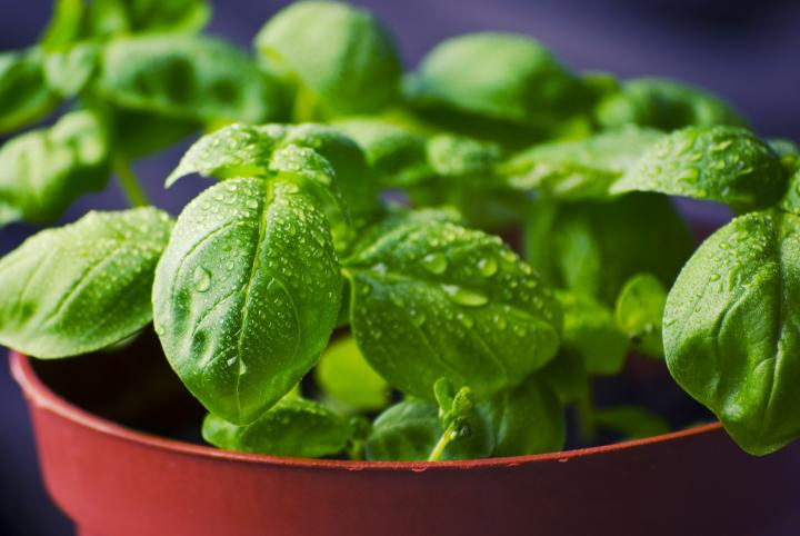 Basil leaves in pot