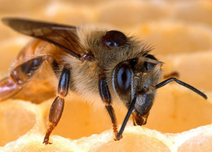 Bee with Varroa mite