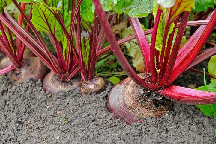 Beets in the ground