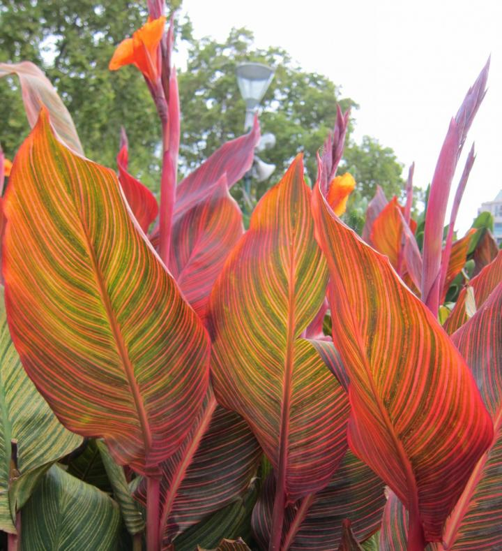 Canna Lily Bulbs Perennial Dwarf Brown Leaf Pink Roses Flower Tropical Plant Top