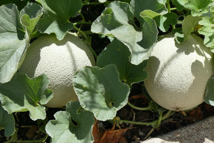 Cantaloupes Planting Growing And Harvesting Cantaloupes Muskmelons The Old Farmer S Almanac Cantaloupe can be expensive to buy at the store. cantaloupes planting growing and