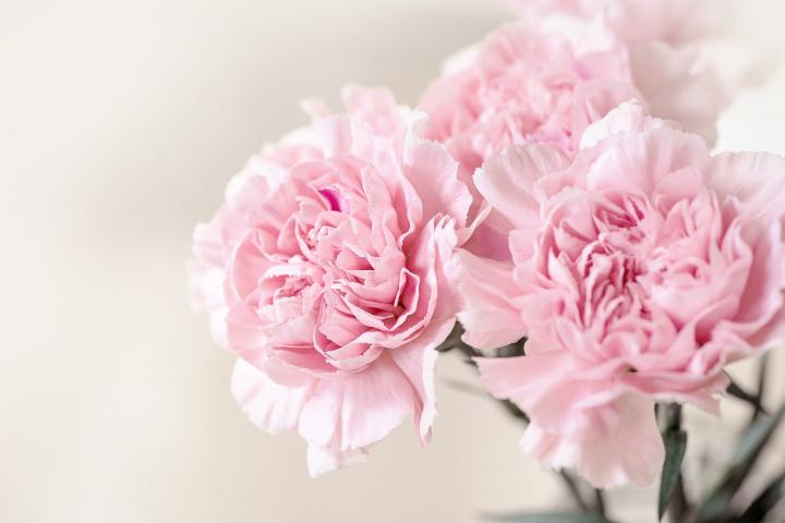 January birth flower, the carnation