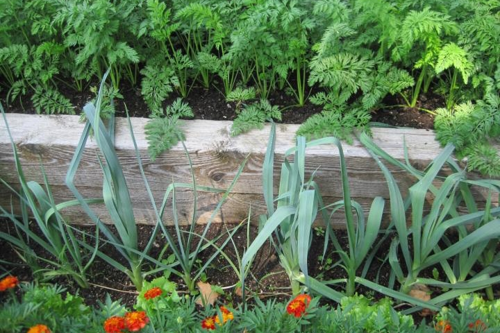 Carrots and leeks do well in this shady raised bed. Photo by Robin Sweetser.