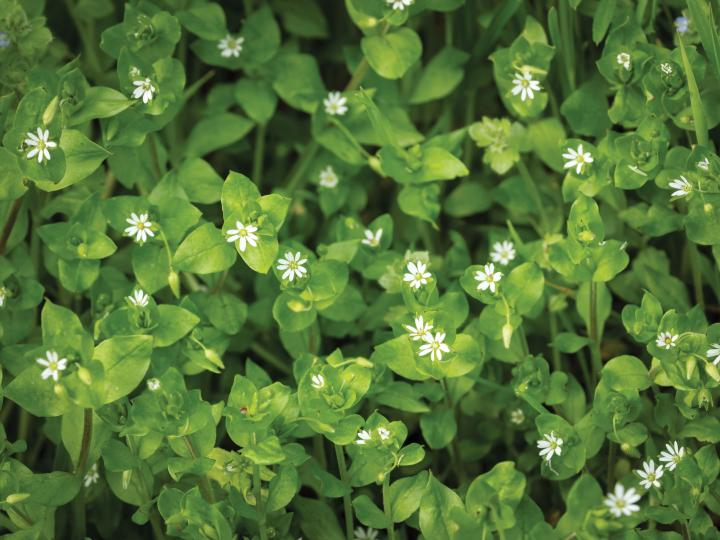 chickweed-stefan-rotter-gettyimages_full_width.jpg
