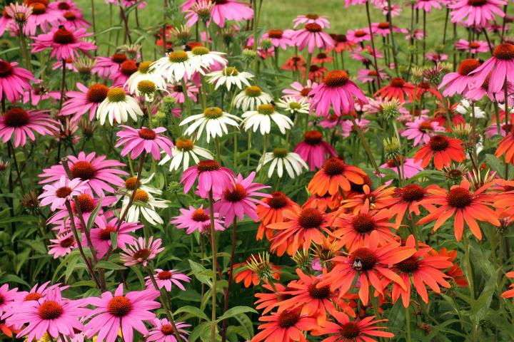 Coneflowers How To Plant Grow And Care For Echinacea