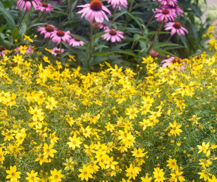 coreopsis and echinacea