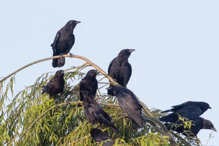 crows-in-tree-elliotte-rusty-harold-ss_full_width.jpg