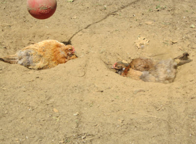 Chickens dust bath