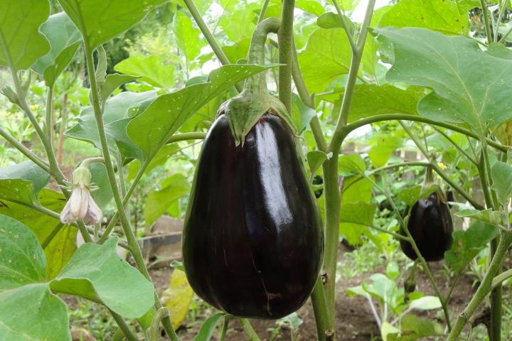 Eggplant Planting Growing And Harvesting Eggplants The Old