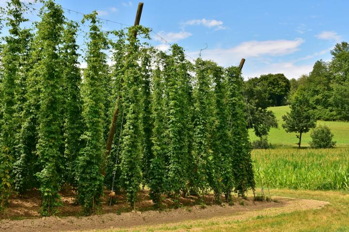 Hops plants trained up wires