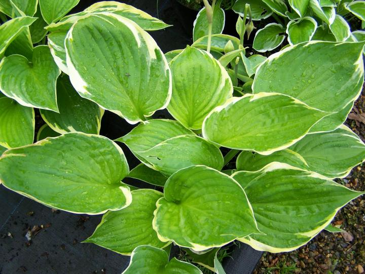 Hosta How To Plant Grow And Care For Hostas The Old Farmers