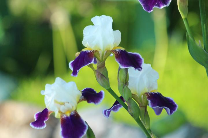 Grow And Care For Iris Flowers