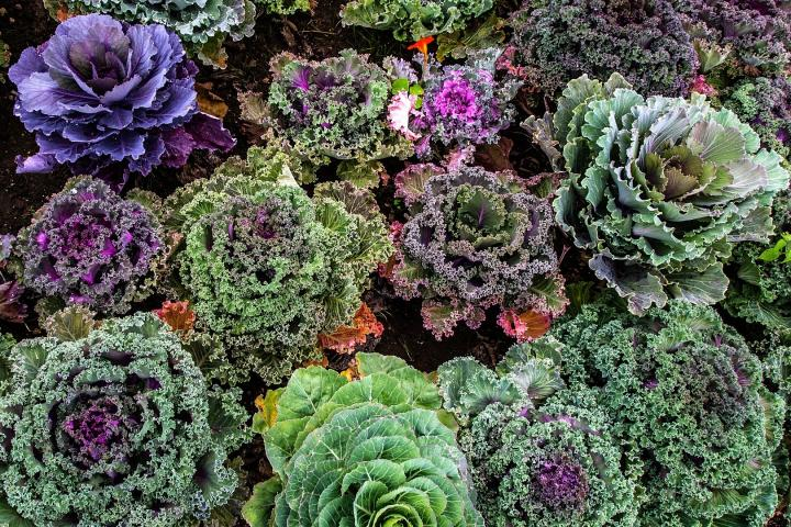 Growing And Harvesting Kale Plants