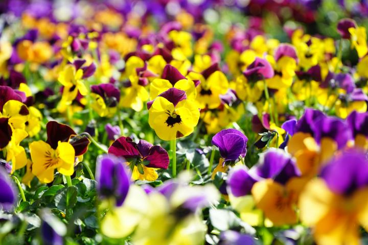 Growing Pansies How To Plant Grow And Care For Pansy Flowers The