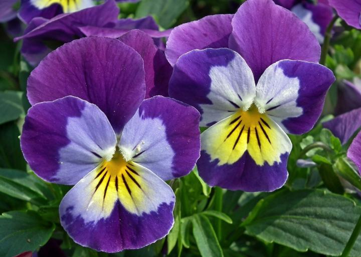 pansies purple