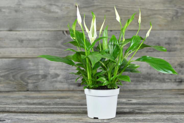 Peace lily on table. Photo by izzzy71/Getty Images