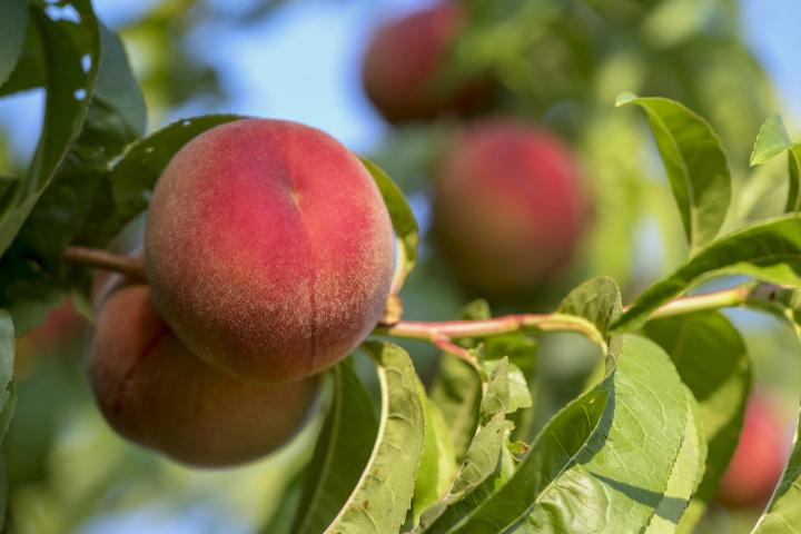 Peach Trees Planting Growing And Harvesting Peaches The Old