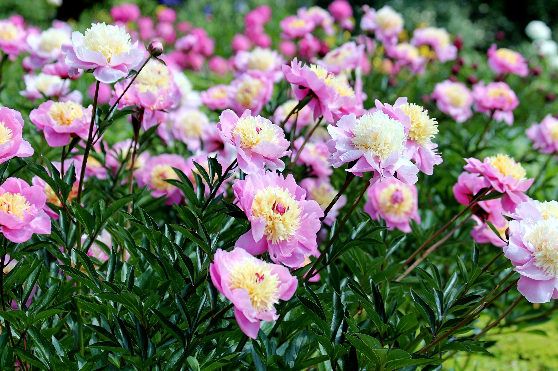 Peonies Planting Growing And Caring For Peony Flowers The Old