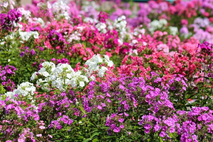 Phlox: How to Plant, Grow, and Care for Phlox Flowers | The
