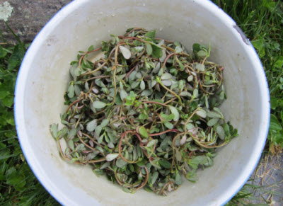 Picked purslane