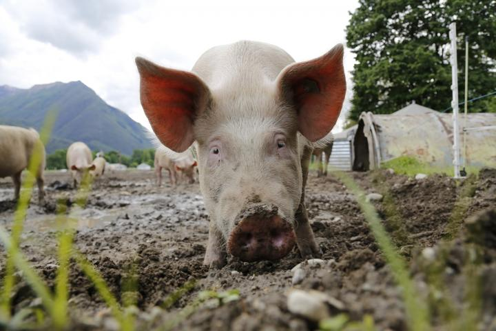 The Perks of Pigs: Fun Facts About Pigs | The Old Farmer's