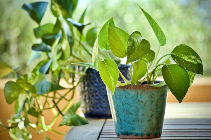 pothos houseplant in pot