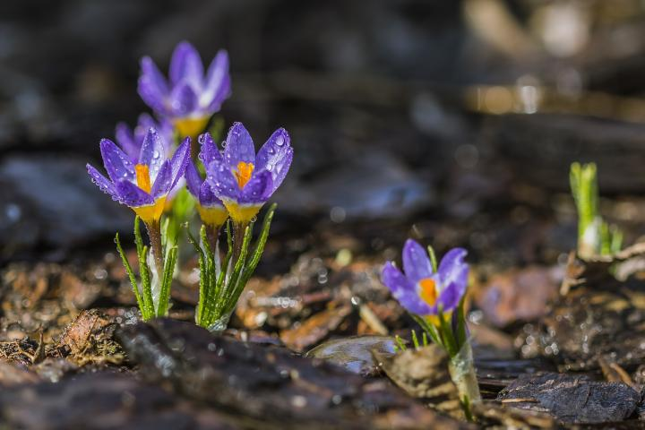 purple crocus in rain