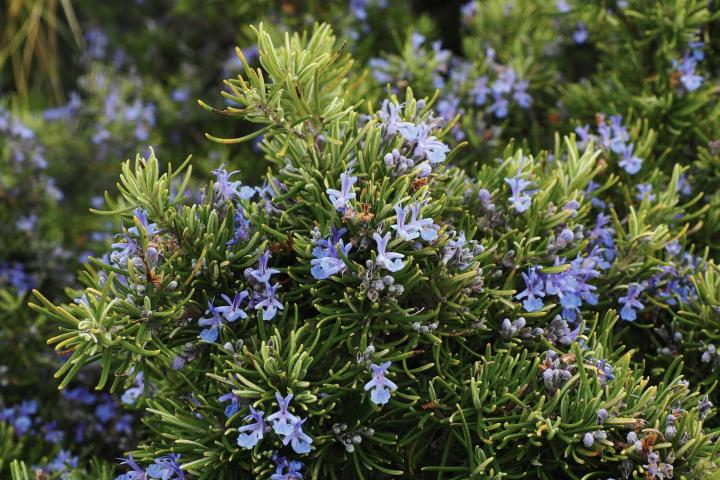 Rosemary: Planting, Growing, and Harvesting Rosemary Plants