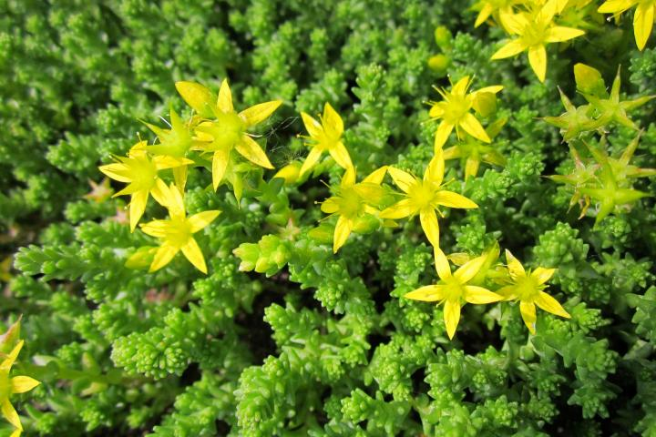 Sedum with yellow flowers