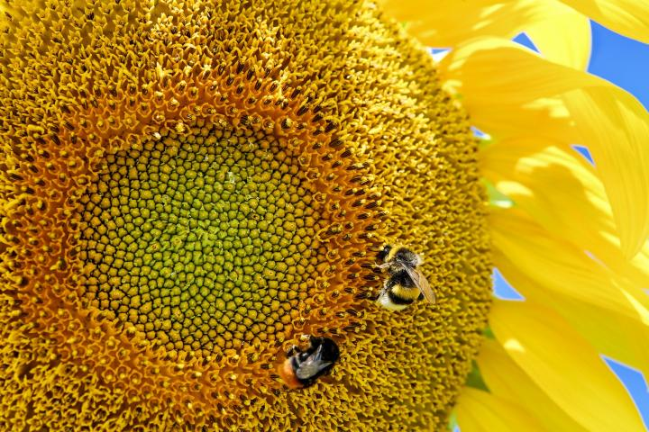 Summer sunflower with bee