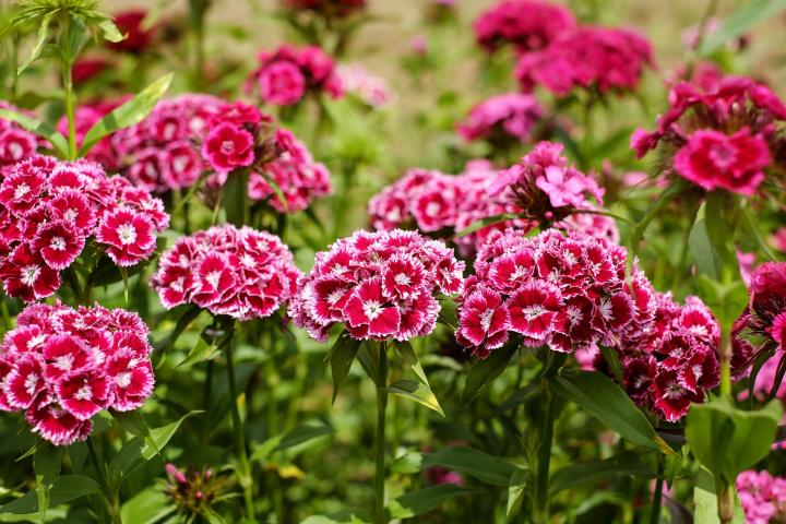sweet-william-1440586_1920_full_width.jpg