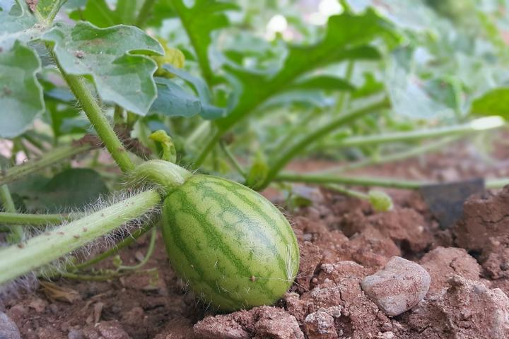 Watermelons Planting Growing And